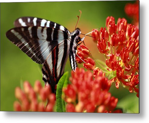 Butterfly Metal Print featuring the photograph Brunch by Shelby Waltz