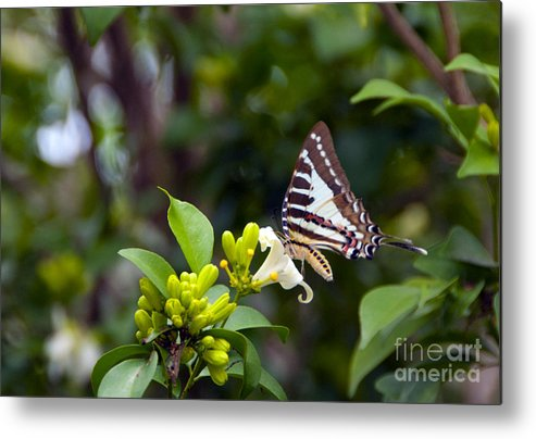 Butterfly Metal Print featuring the photograph Butterfly And A White Flower by Ted Guhl