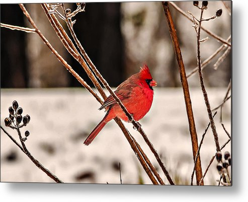 Nature Metal Print featuring the photograph Cardinal On A Winter Day II by Michael Whitaker