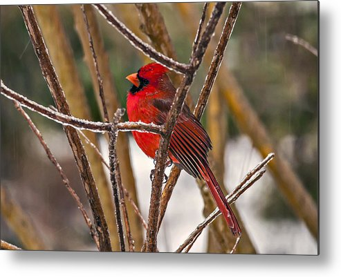 Nature Metal Print featuring the photograph Cardinal On A Winter Day by Michael Whitaker