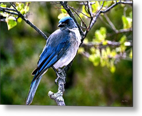Chiricahua National Park Metal Print featuring the photograph Colors Of Nature - Bluebird 002 by George Bostian