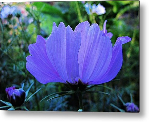 Cosmos Metal Print featuring the photograph Cosmos Side by MTBobbins Photography