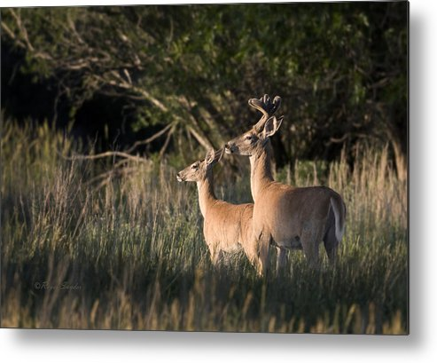 Beautiful Metal Print featuring the photograph Deer By Belfry Montana by Roger Snyder