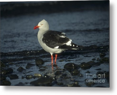 Gull Metal Print featuring the photograph Dolphin Gull by James Brunker