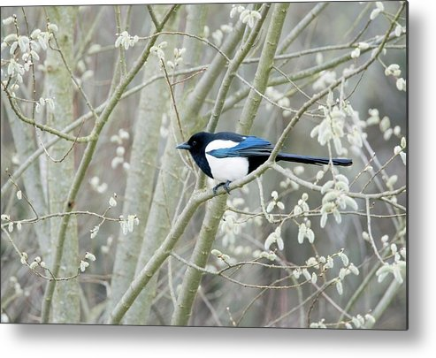 Pica Pica Metal Print featuring the photograph European Magpie by John Devries/science Photo Library