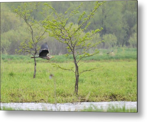 Great Blue Heron Metal Print featuring the photograph Flying Low by Bonfire Photography