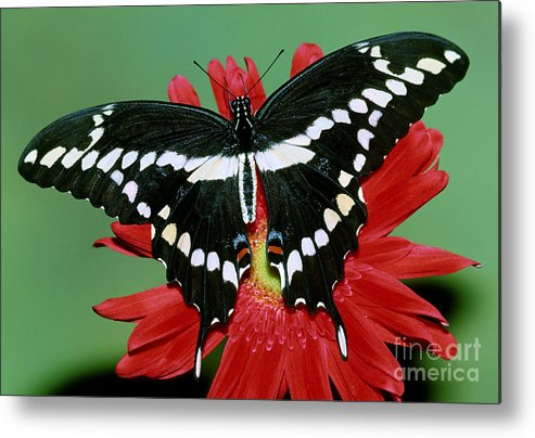 Giant Swallowtail Metal Print featuring the photograph Giant Swallowtail Butterfly by Millard Sharp