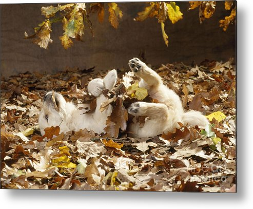 Golden Retriever Metal Print featuring the photograph Golden Retriever Puppy In Leaves by John Daniels