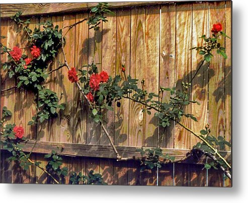 Climbing Roses Metal Print featuring the photograph Good Fences by Edward Shmunes