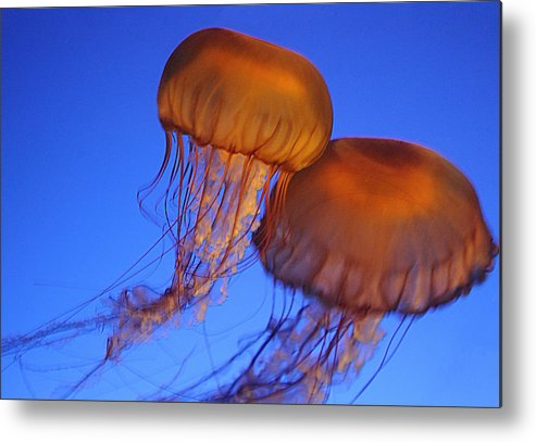 Vancouver Metal Print featuring the photograph Jelly Fish In Harmony by Brenda Kean