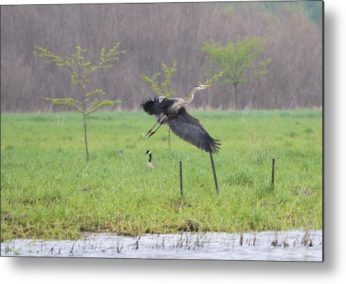 Great Blue Heron Metal Print featuring the photograph Leaping Flight by Bonfire Photography