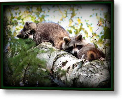 Nature Metal Print featuring the photograph Racoons by Michaela Preston
