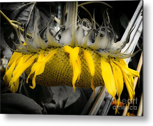 Sunflower Metal Print featuring the photograph Shaded Sunflower by Amy Fearn