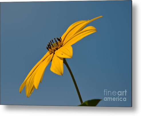 Maximilian�s Sunflowers Metal Print featuring the photograph Sun Kissed by Cheryl Baxter