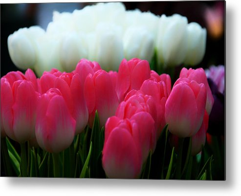 Beauty In Nature Metal Print featuring the photograph Tulip 7 by Ingrid Smith-Johnsen