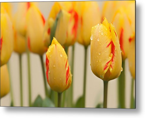 Beauty In Nature Metal Print featuring the photograph Tulips 6 by Ingrid Smith-Johnsen