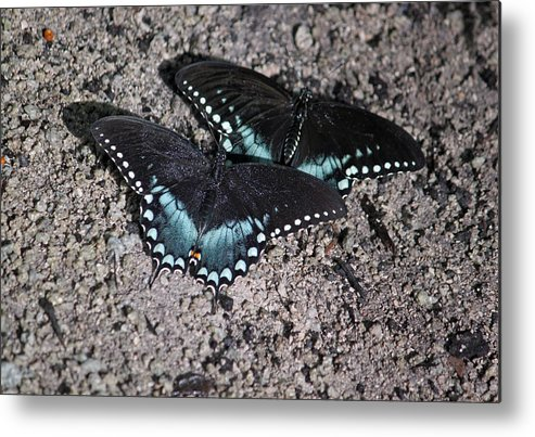 Spicebush Butterfly Metal Print featuring the photograph Two By Two by Suzanne Gaff