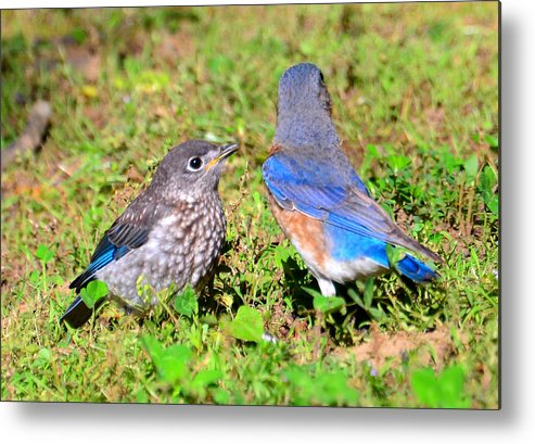 Birds Metal Print featuring the photograph A Mothers Care by David Lee Thompson