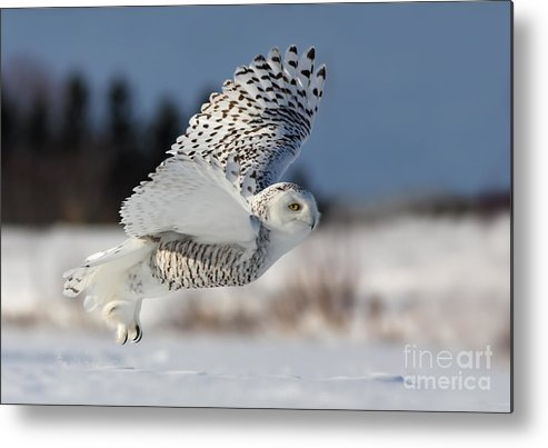 Art Metal Print featuring the photograph White Angel - Snowy Owl In Flight by Mircea Costina Photography