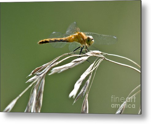 Common Red Darter Metal Print featuring the photograph Winged Beauty by Cheryl Baxter