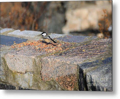 Bird Eating Metal Print featuring the photograph Winter Snack by Michael Mooney