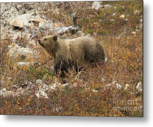 Grizzly Bear Metal Print featuring the photograph A Breath Of Fresh Air by Adam Jewell