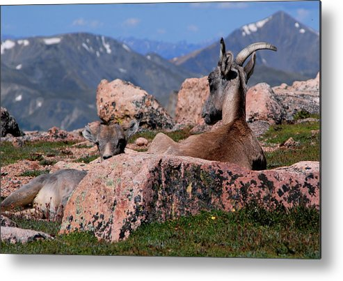 Animals Metal Print featuring the photograph Big Horn Sheep by Diane Jensen