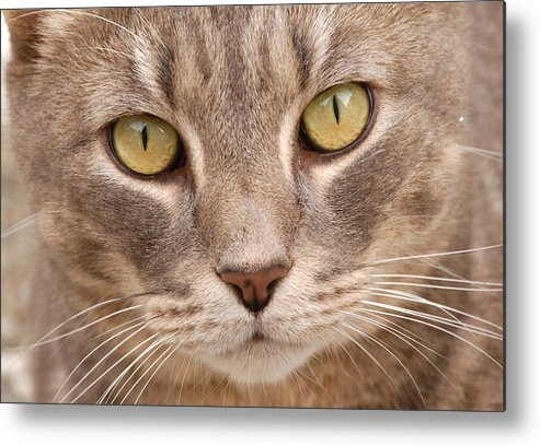 Cat Metal Print featuring the photograph Cat Eyes by Kathy Gibbons