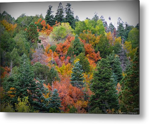 Colorado Blue Spruce Metal Print featuring the photograph Colors Of The Sandia Forest by Aaron Burrows