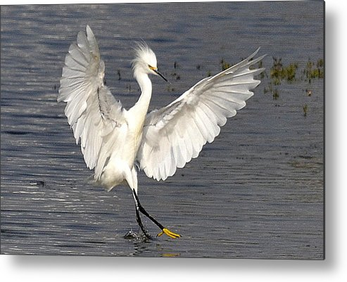 Snowy Egret Metal Print featuring the photograph Dancer On The Water by Fraida Gutovich