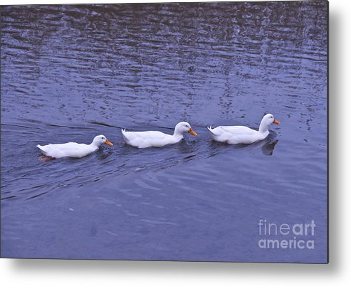 Ducks Metal Print featuring the photograph Follow Me by Cindy Lee Longhini
