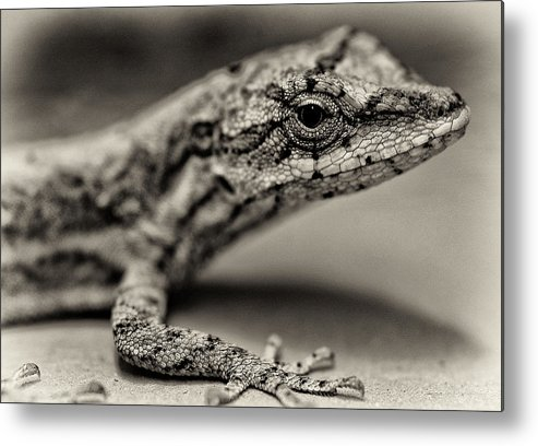 Animals Portrait Metal Print featuring the photograph Lizard In Bw by David Resnikoff