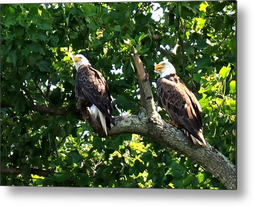 Eagles Mating Metal Print featuring the photograph Mating Pair by Randall Branham