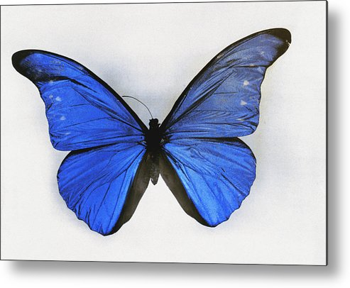 butterflies Metal Print featuring the photograph No Original Legend Information by Charles Martin