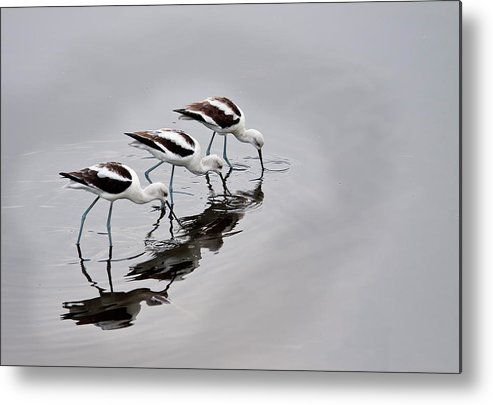 Sandra Barnes Metal Print featuring the photograph The Three Avocets by Sandra M Barnes