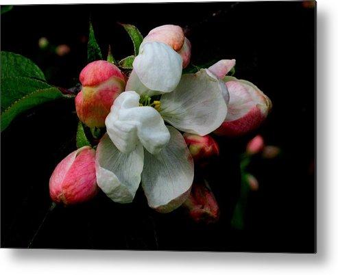 Apple Metal Print featuring the photograph Apple Blossoms by Karen Molenaar Terrell