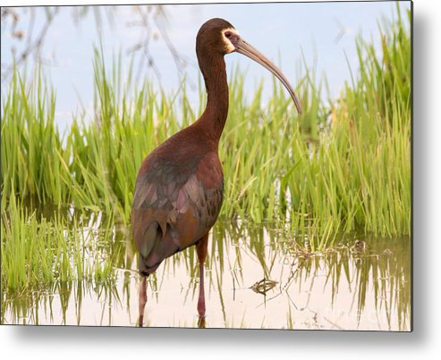 Bird Metal Print featuring the photograph White Faced Ibis by Dennis Hammer