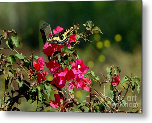 Butterfly Metal Print featuring the photograph Butterfly by Marc Bittan