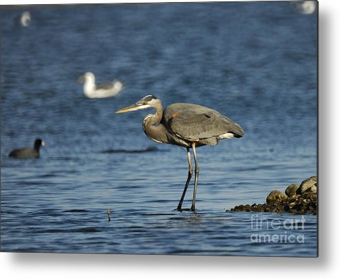 Blue Heron Metal Print featuring the photograph Blue Heron by Marc Bittan