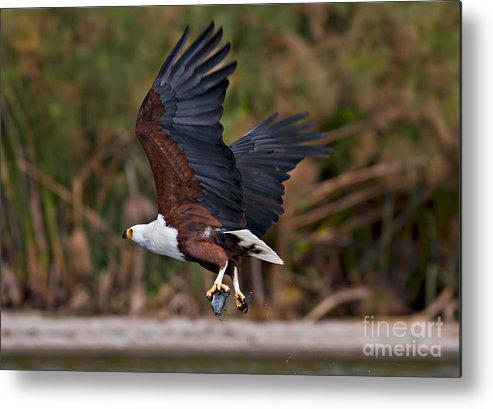 Wildlife Metal Print featuring the photograph African Fish Eagle by Sergey Krasnoshchekov