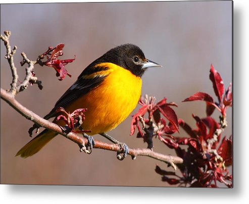 Baltimore Oriole Metal Print featuring the photograph Baltimore Oriole In Crabapple by Bruce J Robinson