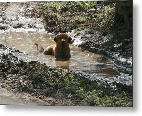 Labrador Metal Print featuring the photograph Beat The Heat by K Mae Photography