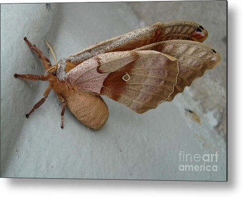 Moth Metal Print featuring the photograph Big Moth by Gary Morgan