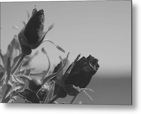Rose Metal Print featuring the photograph Black Roses by Lisa Hebert