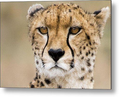 Kenya Metal Print featuring the photograph Cheetah Portait by Randy Gebhardt