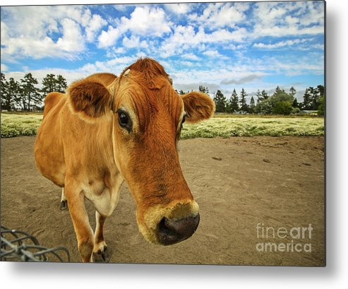 Cow Metal Print featuring the photograph Don't Fence Me In by Jennifer Ramirez