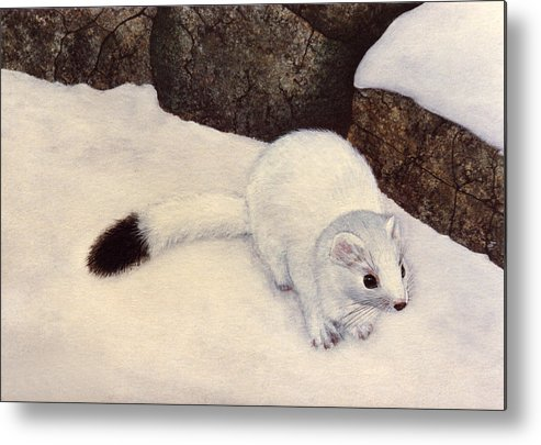 Wildlife Metal Print featuring the painting Ermine In Winter by Frank Wilson
