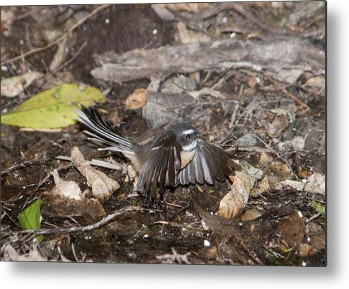Bird Metal Print featuring the photograph Fantail by Peter Hill