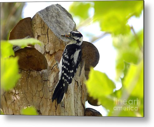 Downy Woodpecker Metal Print featuring the photograph Feeding Time by David Lee Thompson