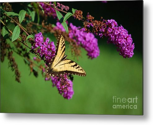 Butterfly Metal Print featuring the photograph Freedom by Debbi Granruth